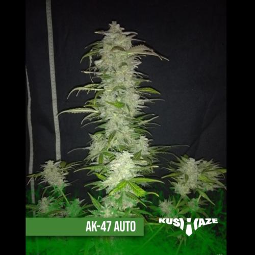AK47 Auto nasiona