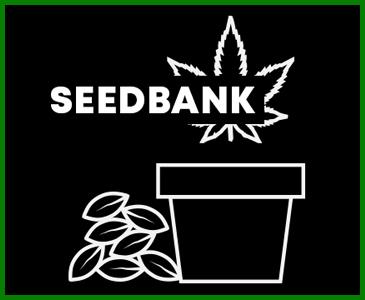 Nasiona Marihuany i konopi