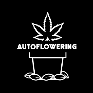 Odmiany autoflowering